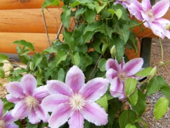Landscaping for Log Homes - Flower Closeup