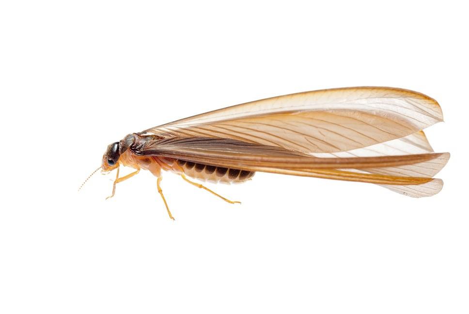 Termite close-up.